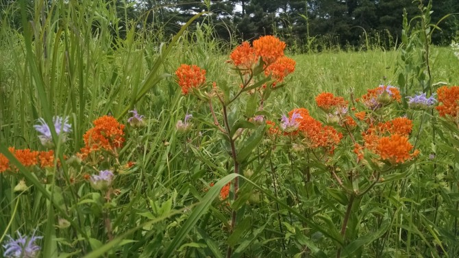 Ascelepias tuberosa- Butterfly Weed (2)