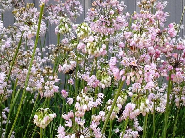 Allium cernuum- Nodding Wild Onion (2)