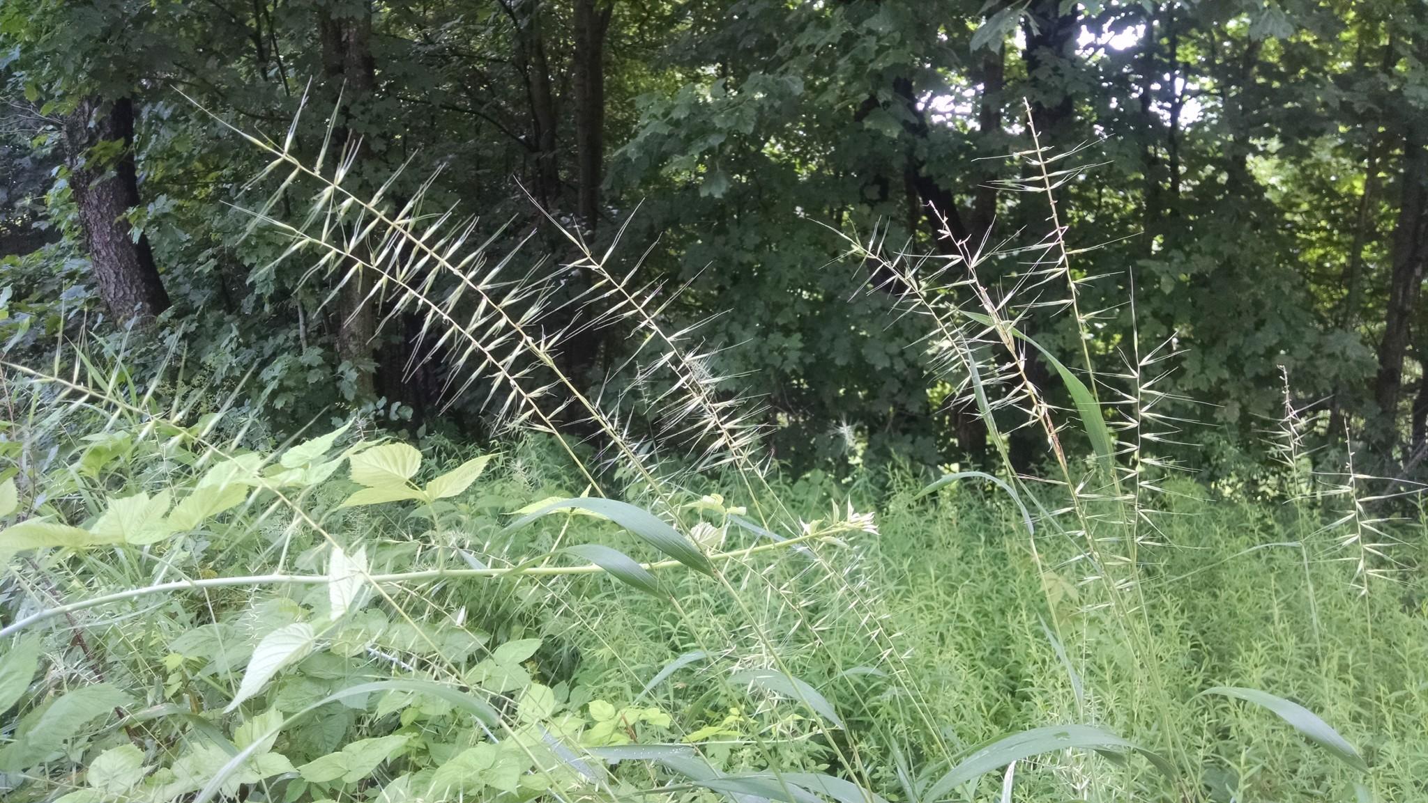 Elymus-hystrix-Bottlebrush-Grass