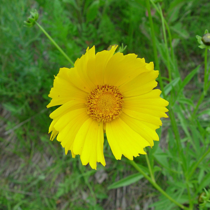 coreopsis-lanceolata-fl-ahaines-a