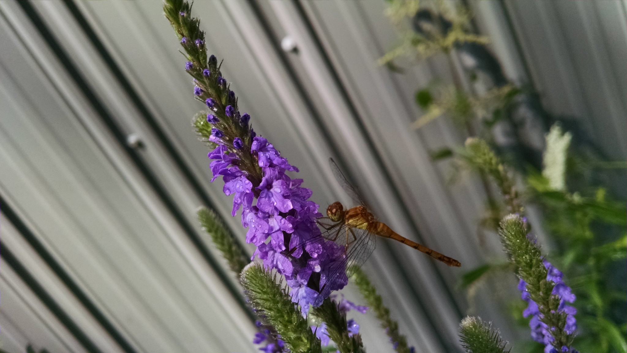 Verbena-stricta-Hoary-Vervain-with-dragonfly-2