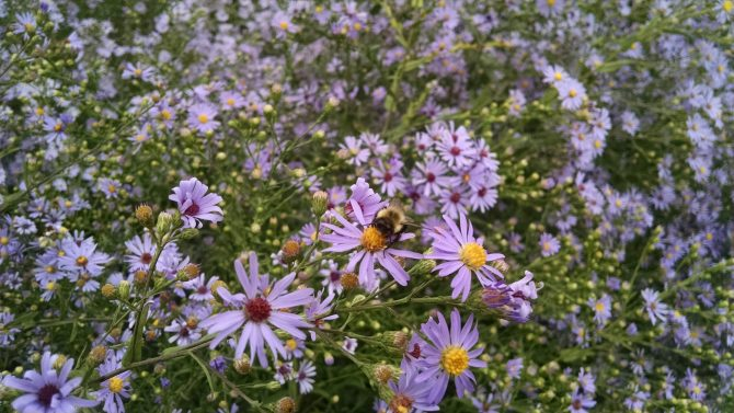 aster laevis 3