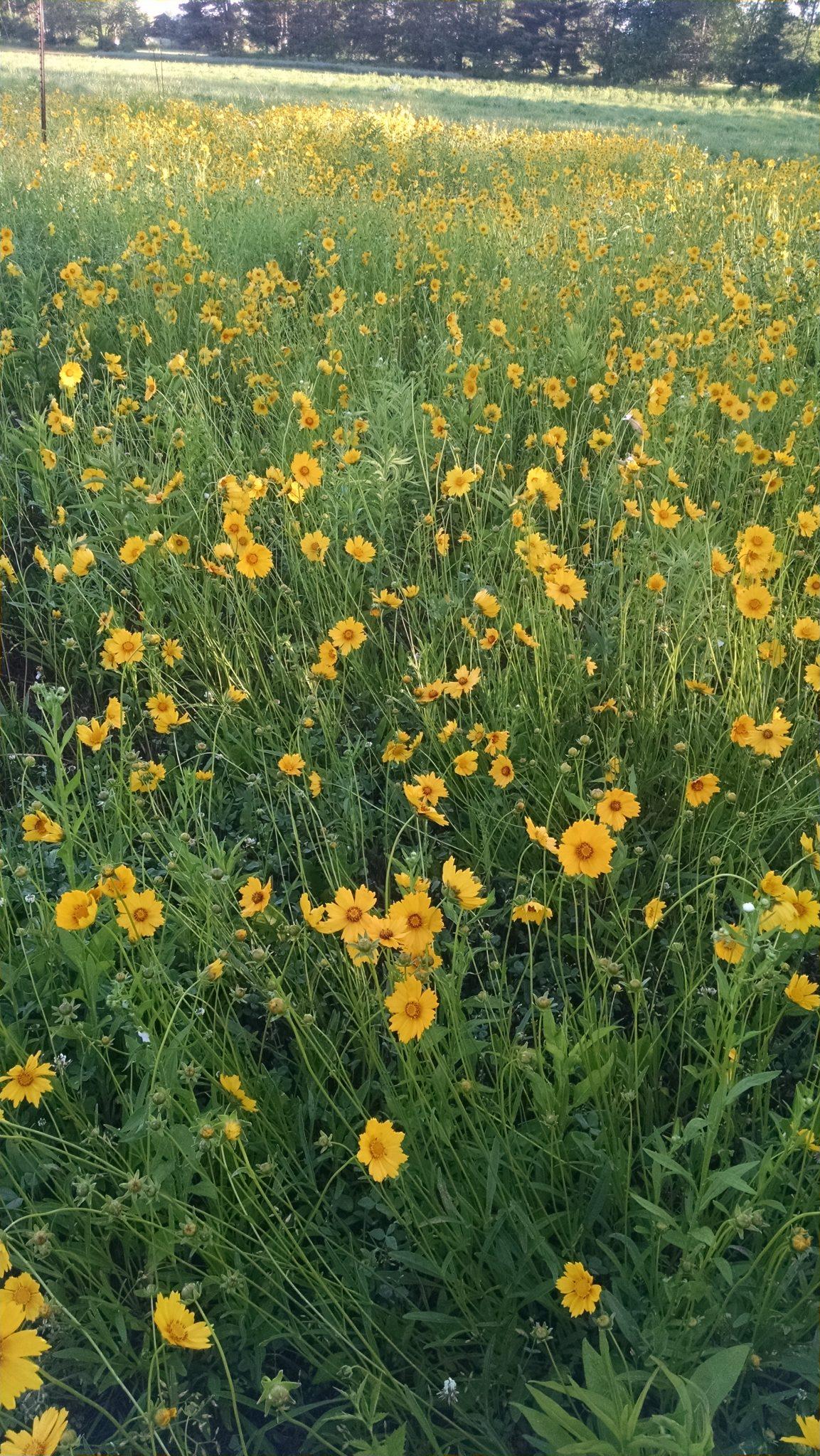 coreopsis lanceolata1 michigan wildflower farm