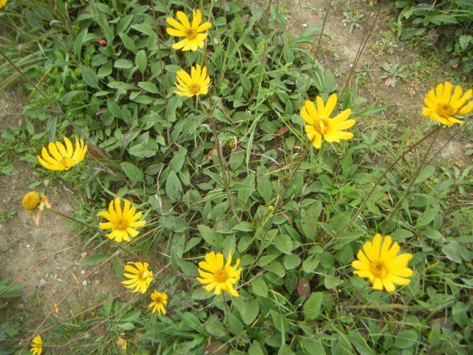 helianthus occidentalis1