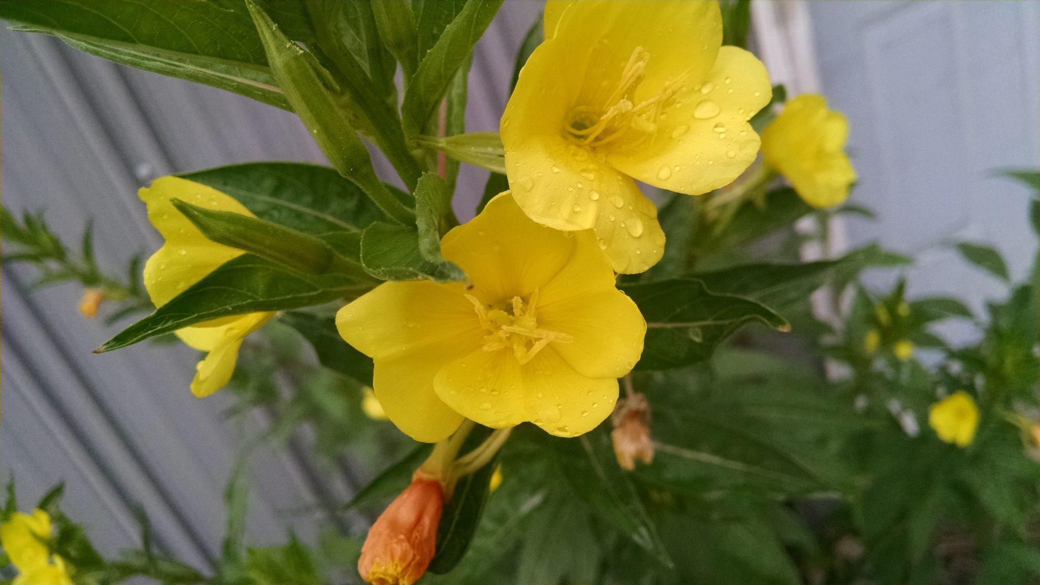 oenothera-biennis3