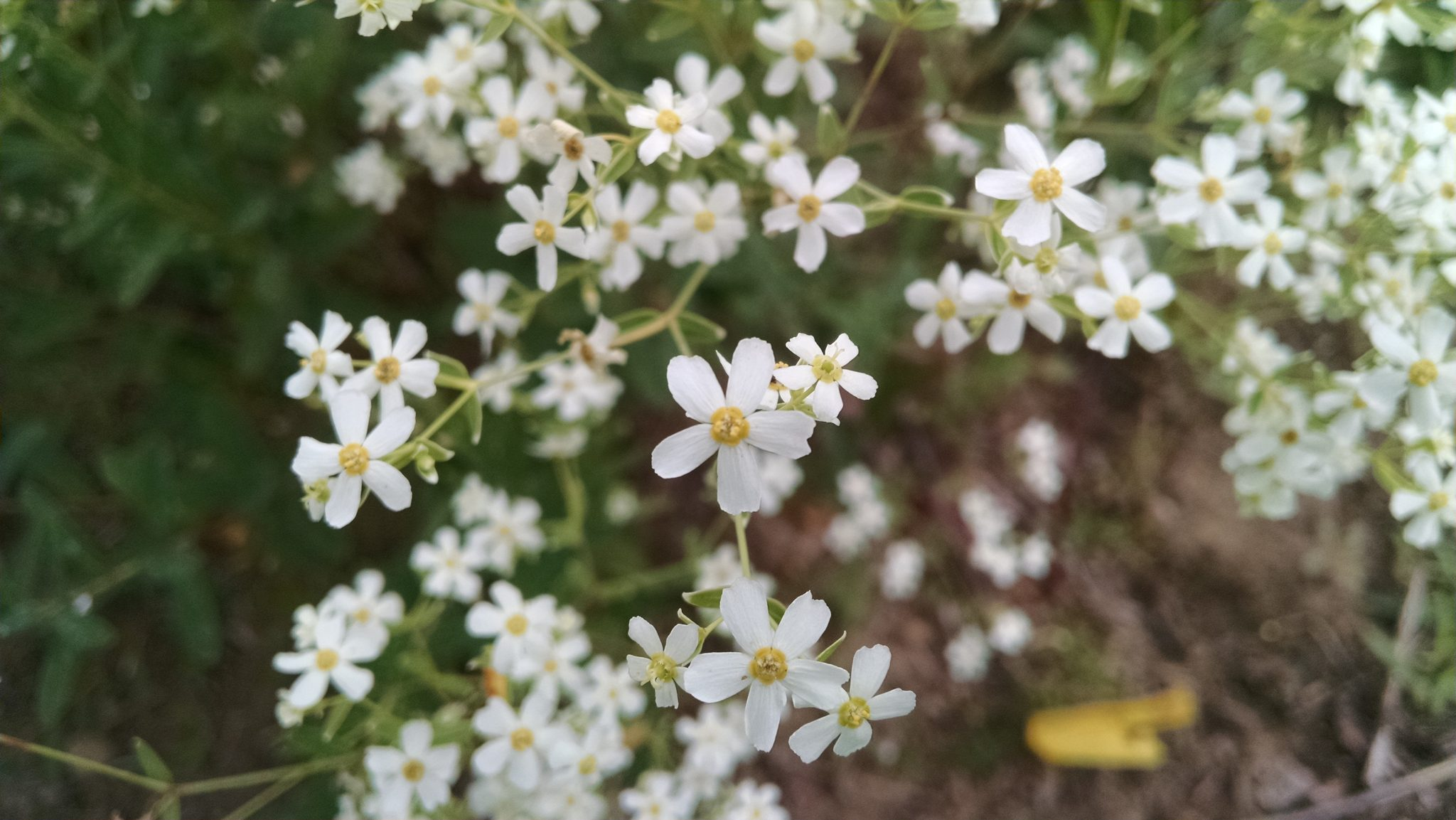 euphorbia-corollata2