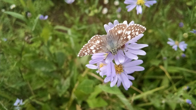 Aster laevis Pic