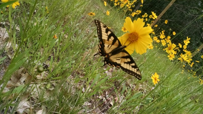 tigerswallowtail-on-corlan