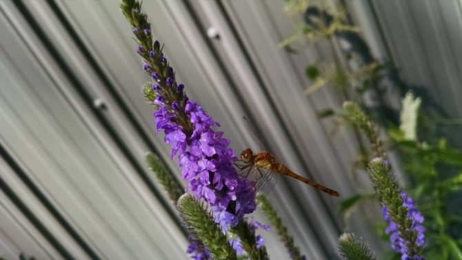 Verbena stricta- Hoary Vervain (with dragonfly) (2)