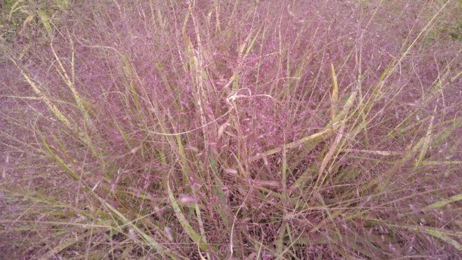 Eragrostis spectabilis- Purple Lovegrass (2)