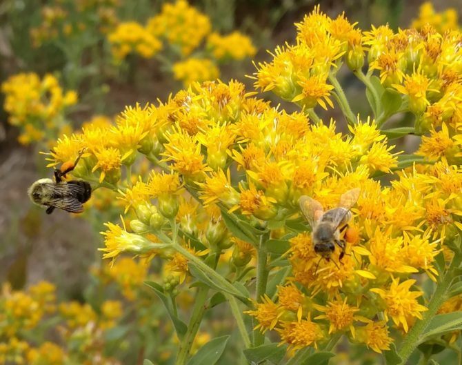 solidago rigida bees