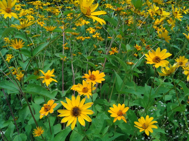 Heliopsis helianthoides 1