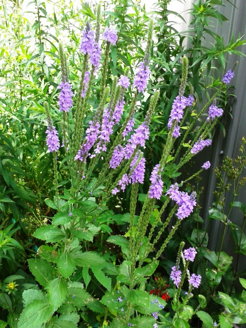 Verbena stricta- Hoary vervain (2)