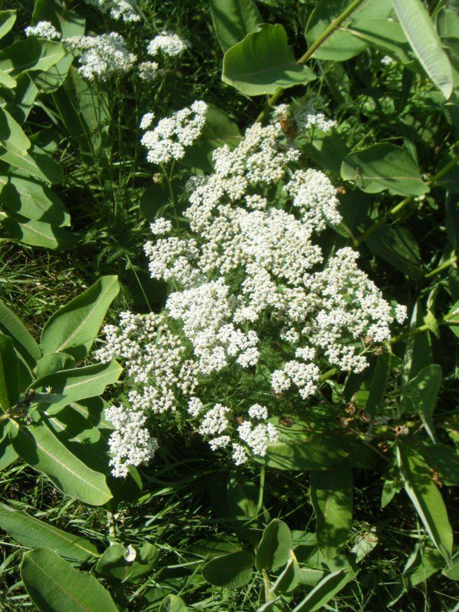 achillea millefolium 1