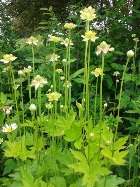anemone virginiana 3