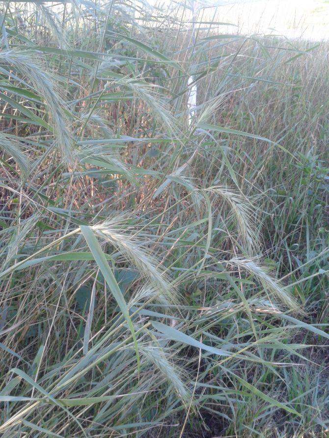 elymus canadensis