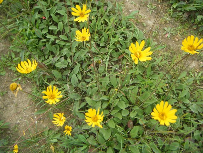 helianthus occidentalis1