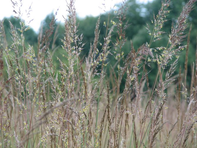 indiangrass1