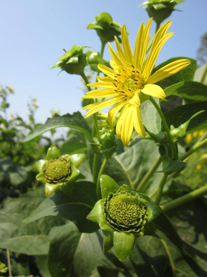 silphium perfoliatum 3