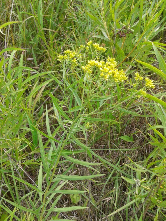 solidagograminifolia