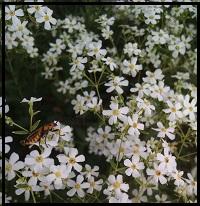 euphorbia corolatta1
