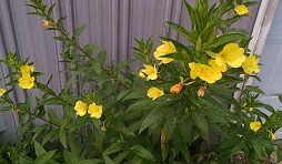 oenothera biennis1