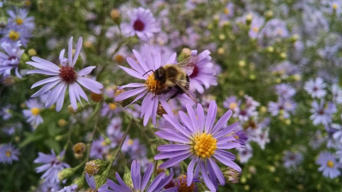 aster laevis 2