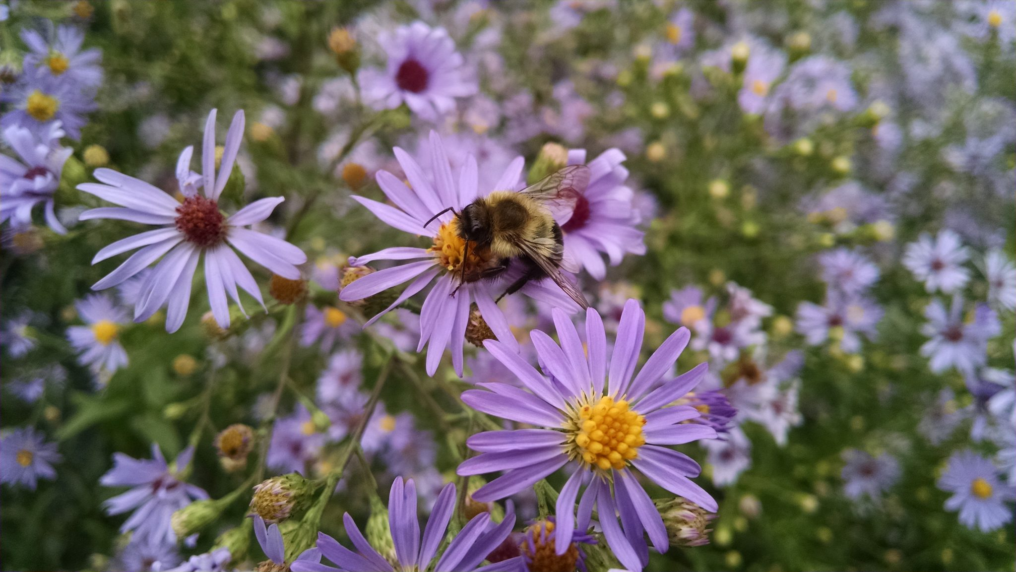 aster-laevis-2